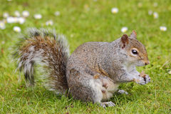 Gray Squirrel. Grey / gray squirrel eating from hands Stock Photography