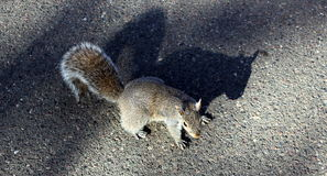 Grey Squirrel Image stock