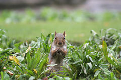 Grey Squirrel. Foraging for food in the flower bed of a public park stock image