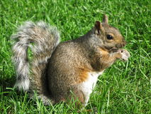 Grey Squirrel. Close up picture of the grey squirrel royalty free stock photos