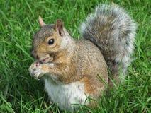 Grey Squirrel. Close up of the grey squirrel Stock Photos