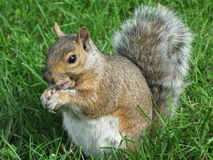 Free Grey Squirrel Stock Photos - 4472243