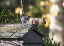 Free Grey Squirrel Royalty Free Stock Photo - 47332385