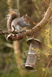 Grey Squirrel. Stock Image
