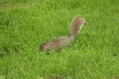 Free Grey Squirrel Royalty Free Stock Photo - 5221005