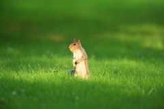 Grey squirrel. Grey squirrel in dappled sunlight with a nut in its mouth.Set against a grass green background Stock Images