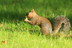 Grey squirrel. Royalty Free Stock Photography
