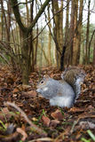 Grey squirrel. Eating nuts on woodland floor royalty free stock photos