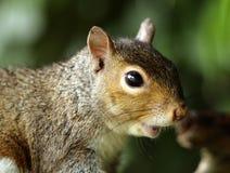 Grey Squirrel. Portrait of a Grey Squirrel Stock Photography