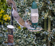 Free Grey Squirrel Royalty Free Stock Photography - 93755997