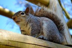Grey Squirrel From Above Imágenes de archivo libres de regalías