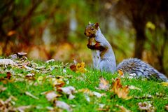 Grey Squirrel in Autumn. A cute grey squirrel standing in the park in autumn Royalty Free Stock Photography