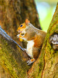 Grey squirrel in autumn park eating apple Royalty Free Stock Images