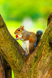 Grey squirrel in autumn park eating apple Stock Photos