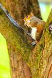 Grey squirrel in autumn park eating apple Royalty Free Stock Photo