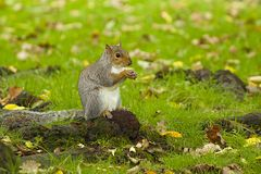 Grey Squirrel in autumn. Grey squirrel in the park in autumn, London Royalty Free Stock Photos