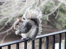 Grey Squirrel Balancing sulla ferrovia della piattaforma Fotografie Stock Libere da Diritti