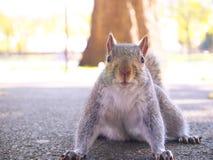 Grey Squirrel bekijkt u Royalty-vrije Stock Foto's