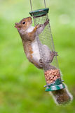 Grey Squirrel on bird feeder Stock Photo