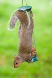 Grey Squirrel on bird feeder Stock Photos