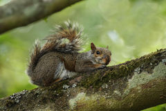 Grey squirrel on branch. A grey squirrel lying down on a mossy branch of a tree with muted tones in the background Royalty Free Stock Photography