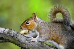 Grey squirrel on branch   Royalty Free Stock Photo