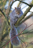 A grey squirrel on a branch in a tree Stock Image