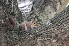 A Grey Squirrel in the branches of a Oak tree stock photography