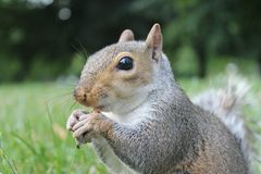 Grey squirrel calling close up on grass with bushy tail Stock Photo