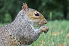 Grey squirrel calling close up on grass Stock Photo
