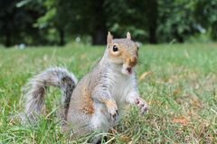 Grey squirrel calling close up on grass Royalty Free Stock Image