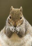 Grey Squirrel (carolinensis del Sciurus) Imagen de archivo libre de regalías