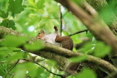 Grey Squirrel. Caught scratching in a tree Stock Photos