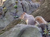 Grey Squirrel in Central Park royalty free stock photography