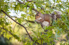 Grey Squirrel in Central Park Stock Images