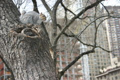 Grey Squirrel, Central Park, Nueva York, los E.E.U.U. Imagenes de archivo
