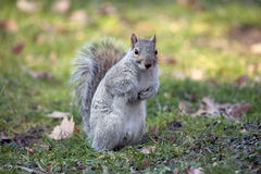 Grey squirrel in Central park. Stock Images