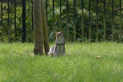Grey Squirrel cerca del árbol fotografía de archivo