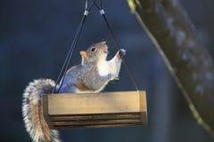 Grey Squirrel Climbing Out orientale dell'alimentatore dell'uccello immagini stock