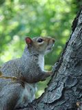 Grey Squirrel Climbing a Tree Royalty Free Stock Photography