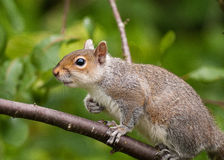 Grey Squirrel climbing tree Stock Images