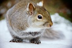 Grey Squirrel Close Up. A cute grey squirrel standing in snow Royalty Free Stock Image