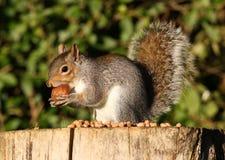 Grey Squirrel Stock Photos