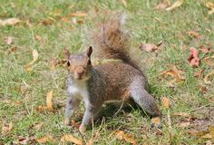 Grey squirrel close up on grass with bushy tail Stock Images