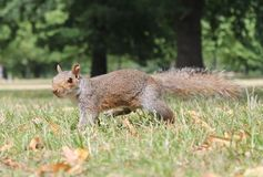 Grey squirrel close up on grass with bushy tail Royalty Free Stock Image