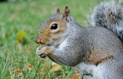 Grey squirrel close up on grass with bushy tail Royalty Free Stock Images