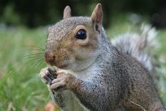 Grey squirrel close up on grass with bushy tail Stock Photos