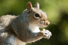Grey squirrel close-up Stock Photos