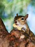 Grey Squirrel Closeup Royalty Free Stock Image