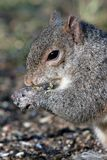 Grey Squirrel Closeup. Closeup of a Grey Squirrel Eating Sunflower Seeds Stock Image